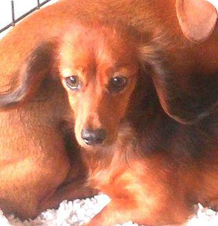 Dachshund Dog for adoption in Mary Esther, Florida - Lady