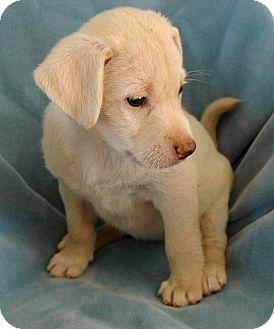 Labrador Retriever Mix Puppy for adoption in Woodlyn, Pennsylvania - Teddy