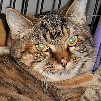 American Shorthair Cat for adoption in Chattanooga, Tennessee - Claudia