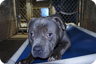 Pit Bull Terrier Mix Dog for adoption in Henderson, North Carolina - Webster