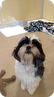 Shih Tzu Mix Dog for adoption in Toms River, New Jersey - Charlie