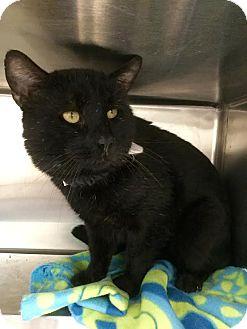 Domestic Shorthair Cat for adoption in Webster, Massachusetts - Valentino