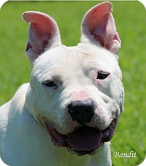 Staffordshire Bull Terrier Mix Dog for adoption in Springfield, Vermont - Bandit