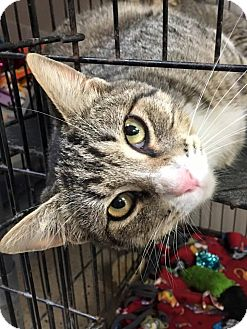 Domestic Shorthair Cat for adoption in St. Francisville, Louisiana - Happy