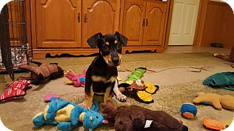 Dachshund/Terrier (Unknown Type, Medium) Mix Puppy for adoption in Middlesex, New Jersey - Radar