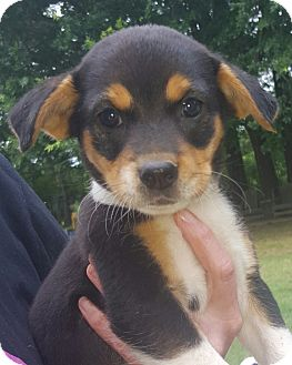 Beagle/Rat Terrier Mix Puppy for adoption in Hagerstown, Maryland - Sally