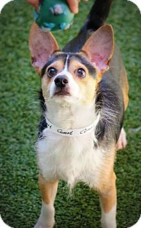 Rat Terrier Mix Dog for adoption in Ft. Lauderdale, Florida - Comet