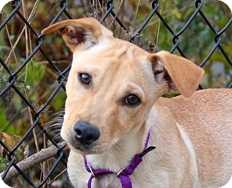 Corgi/Terrier (Unknown Type, Medium) Mix Puppy for adoption in Gloucester, Massachusetts - Bodoque
