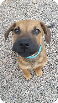 German Shepherd Dog Mix Puppy for adoption in Apache Junction, Arizona - Tarzan