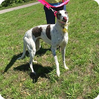 Greyhound Dog for adoption in Independence, Missouri - Rae