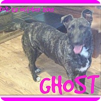 Dutch Shepherd Mix Dog for adoption in Mount Royal, Quebec - GHOST