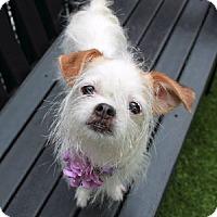Adopt A Pet :: Pebbles - Brooklyn, NY