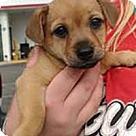 Adopt A Pet :: Yorkie Lauren