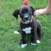 Adopt A Pet :: Rizzo Wrigley - Alpharetta, GA