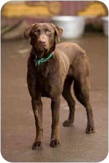 Labrador Retriever Dog for adoption in Portland, Oregon - Bernard