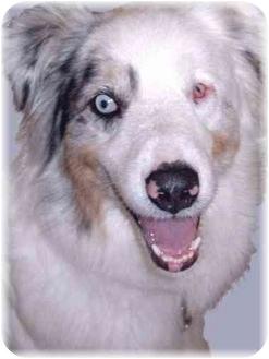 Australian Shepherd Dog for adoption in Grass Valley, California - Shep