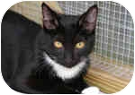 Domestic Shorthair Kitten for adoption in Englewood, Florida - Pru