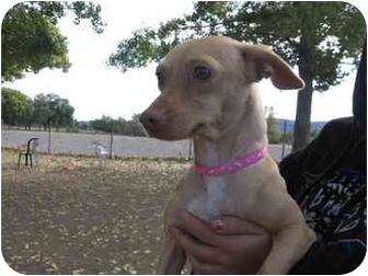 Chihuahua/Dachshund Mix Puppy for adoption in Beverly Hills, California - Becca