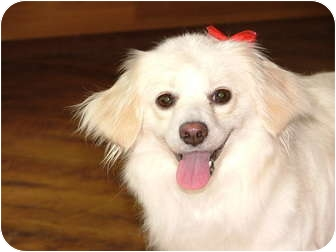Pomeranian/Spitz (Unknown Type, Small) Mix Dog for adoption in Bedminster, New Jersey - Gemma