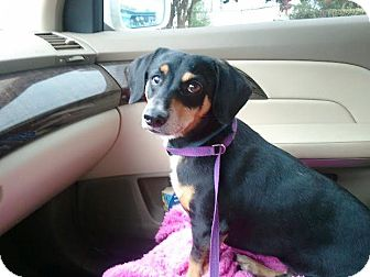 Dachshund Mix Dog for adoption in Sugar Land, Texas - Skippy