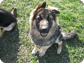 German Shepherd Dog Dog for adoption in Greeneville, Tennessee - Titan