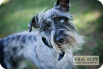Schnauzer (Miniature)/Terrier (Unknown Type, Small) Mix Dog for adoption in South Plainfield, New Jersey - Zorro