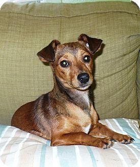 Dachshund Mix Puppy for adoption in Eastpoint, Florida - Lois