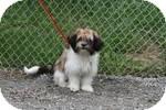 Shih Tzu Mix Puppy for adoption in Atchison, Kansas - Scrappy