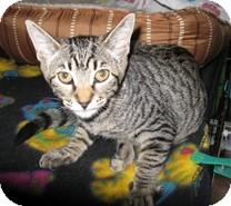 Domestic Shorthair Kitten for adoption in Shelton, Washington - Otter