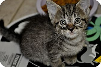 Domestic Shorthair Kitten for adoption in New Smyrna Beach, Florida - Bugsy -8 weeks old- *VIDEO**