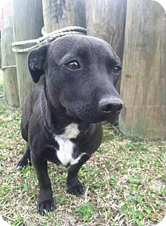 Dachshund Mix Dog for adoption in Ocean Springs, Mississippi - Paz