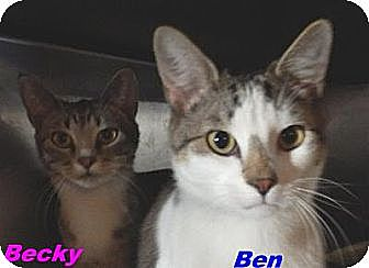 Domestic Shorthair Kitten for adoption in Hawk Springs, Wyoming - Ben & Becky