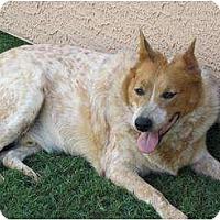 Adopt A Pet :: Rigby (Opie) Adoption Pending - Phoenix, AZ