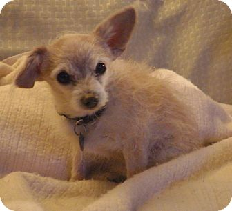 Toy Poodle/Chihuahua Mix Dog for adoption in Quail Valley, California - Fluffito
