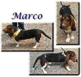 Basset Hound Dog for adoption in Marietta, Georgia - Marco