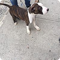 Adopt A Pet :: Baloo - Park Ridge, NJ