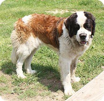 St. Bernard Dog for adoption in Cottageville, West Virginia - Remington