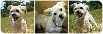 Terrier (Unknown Type, Small)/Maltese Mix Dog for adoption in Forked River, New Jersey - Shooster
