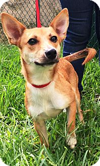 Chihuahua Mix Puppy for adoption in Miami, Florida - Cotty