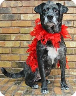 Retriever (Unknown Type)/Australian Cattle Dog Mix Dog for adoption in Benbrook, Texas - Molly