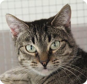 Domestic Shorthair Cat for adoption in O Fallon, Illinois - Gypsy