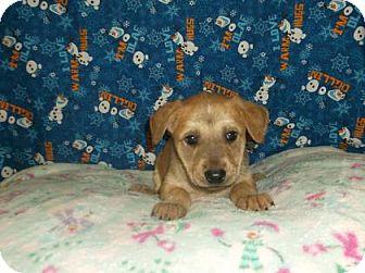 Retriever (Unknown Type)/Labrador Retriever Mix Puppy for adoption in Rapid City, South Dakota - Brom Van Brunt