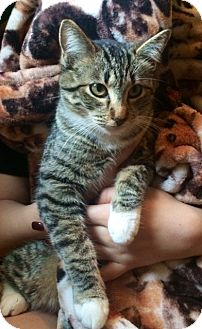Domestic Shorthair Kitten for adoption in Irvine, California - TANIA