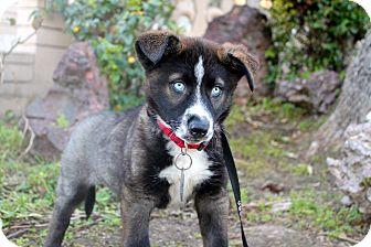 Husky/Shepherd (Unknown Type) Mix Puppy for adoption in Los Angeles, California - Taffeta