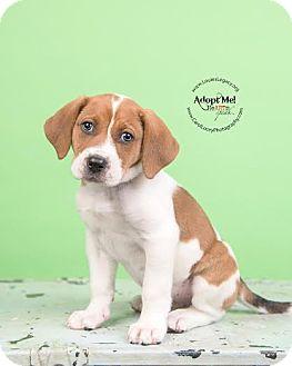 Beagle/Boxer Mix Puppy for adoption in Cincinnati, Ohio - Kermit