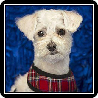 Maltese Mix Dog for adoption in San Diego, California - Rocco