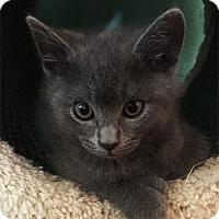 Adopt A Pet :: Muffin - N. Billerica, MA