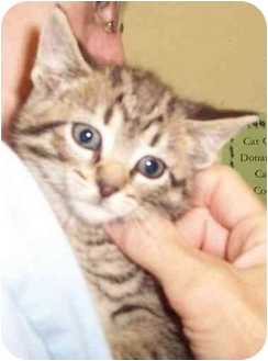 Domestic Shorthair Kitten for adoption in Alden, Iowa - Molly