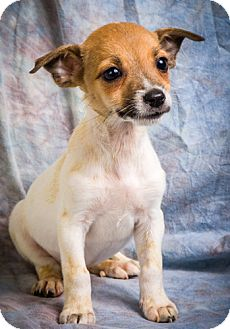 Jack Russell Terrier/Chihuahua Mix Puppy for adoption in Anna, Illinois - JAYCEE