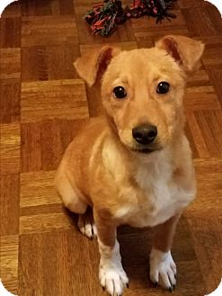 Collie Mix Puppy for adoption in Macon, Georgia - Nellie